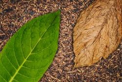 Tobacco leaves texture, close up. High quality green tobacco leaf and dry cut tobacco big leaf, macro closeup, top view