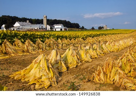 Tobacco on a Lancaster County, Pennsylvania farm is cut and staked for field drying before it is taken into the barn for more drying.