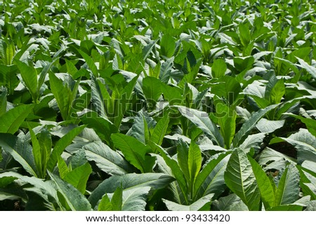 Tobacco Plant in northern Thailand
