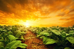 Tobacco plantation by agriculturist in village farm with beautiful sky before sunset