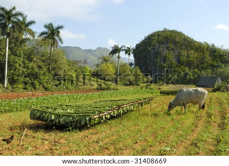Tobacco plantation in Cuba  with drying harvest and grazing bull