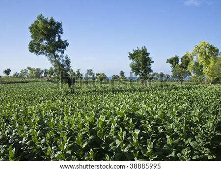 Tobacco plantation in Madura Island, Indonesia