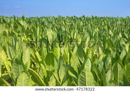 tobacco plantation - leafs