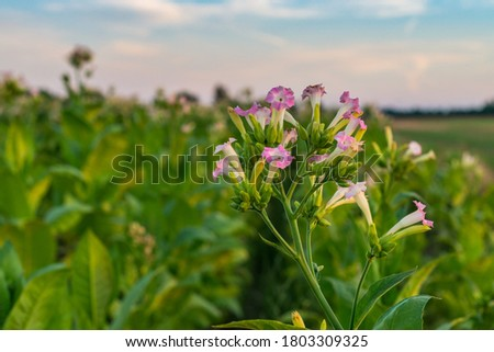 Tobacco plantation with maturing leaves and blossoming flowers Stock fotó ©