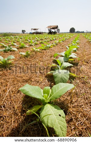 Tobacco plantations.