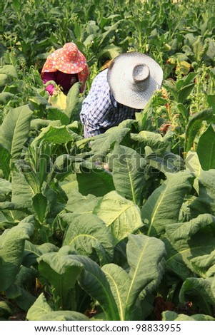 Tobacco planting in northern Thailand