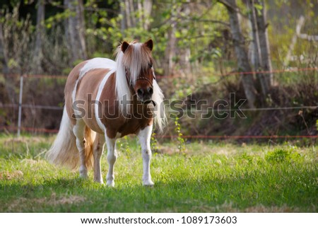Tobiano colored Shetlands pony in field