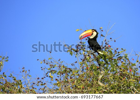 Shutterstock Toco Toucan (aka Common Toucan, Giant Toucan) Eating Berries in the Top of a Tree. Rio Claro, Pantal, Brazil