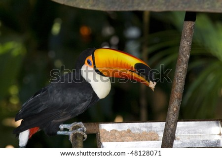 Toco toucan having lunch