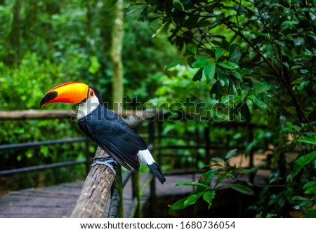 Photo of  Toco toucan, known as Tucano Toco, are among the animals that can be seen by visitors in the Parque das Aves, the largest bird park in Latin America