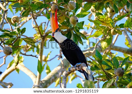 Toco Toucan, Ramphastos Toco, also known as the Common Toucan, Giant Toucan, perching in the trees and feeding fruits, Iguazu or Iguacu, Parana, Brazil, South America