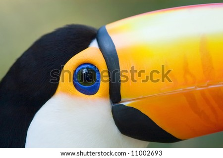 Toco Toucan (Ramphastos toco) close-up