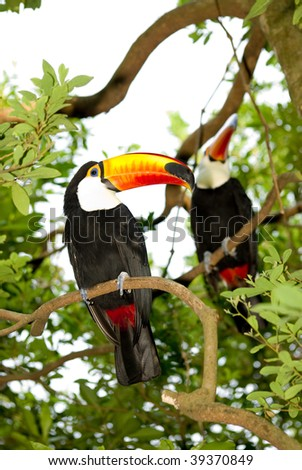 toco toucan rest on tree
