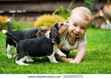 Toddler and two Beagle gambol in the backyard. crawling child and puppy games on the lawn. Dog and kid friendship. Big smile boy and dog kiss. Stock fotó ©