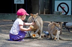 Toddler girl feeding a kangaroo with dried grass