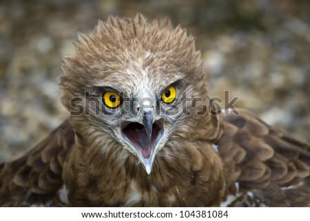 Toed Eagle. Circaetus gallicus, close-up of the eagle.