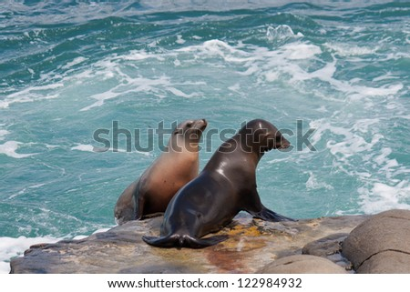 Together. Two Sea Lions on the rocks at ocean in California
