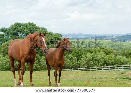 Togetherness-little and large horses grazing together in English countryside. #77580577