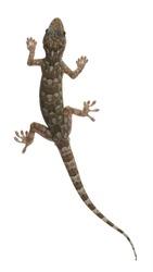 Tokay gecko - Gekko gecko in front of a white background