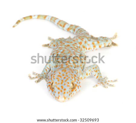 Research On Tokay Gecko How Long Is A Baby Tokay Gecko