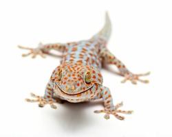 Tokay Gecko Thailand on white background