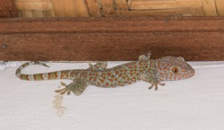 Tokek, the Tokay Gecko (Gekko gecko) lizard on the wall close to the ceiling, in Indonesia, South East Asia. Tokay gecko is a true gecko lizard species