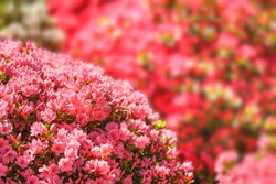 tokyo, japan - april 16 2021: Close up on pink azalea flowers during tsutsuji matsuri festival of the Japanese Shintoist Nezu shrine adorned with blooming rhododendron flowers.