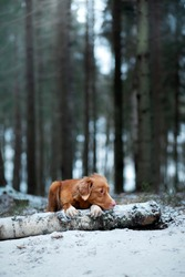 Toller dog in the winter forest . Nova Scotia Duck Tolling Retriever rests on a log in the trees.