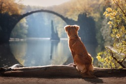 Toller dog  look at the landscape  Rakotz Bridge (Rakotzbrucke, Devil's Bridge) in Kromlau, Saxony, Germany. Colorful autumn , relax.   Nova Scotia Duck Tolling Retriever