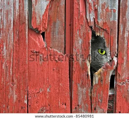 tom cat peeking through old barn siding