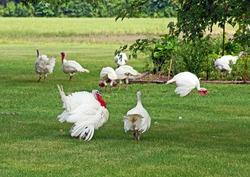 Tom turkey oversees the flock of free range hens