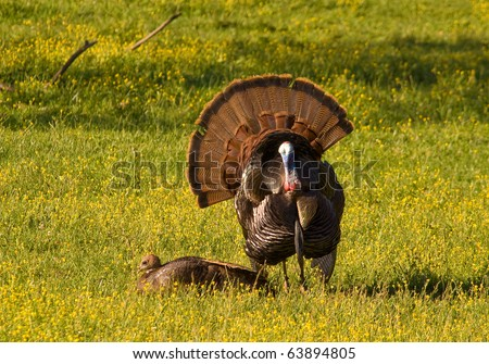 Tom Turkey strutting and displaying in a spring meadow for a potential mate, with tail feathers spread wide and chest out.
