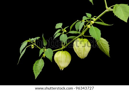 Tomatillo Branch Against Black, Used in Latin, Mexican, American, International, and Tex-Mex Cuisines and Sauces - stock photo