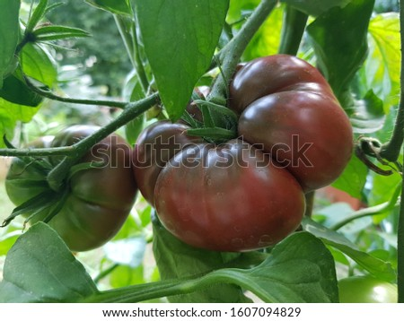 tomato 'black krim' on vine Stock foto ©