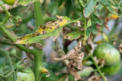 Tomato blight on maincrop foliage. fungal problem Phytophthora disease which causes spotting on late tomato leaves