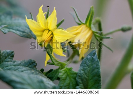 Tomato bloom. Yellow bloom of tomato #1446608660