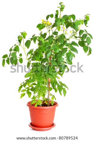 Tomato bush growing in a flower pot isolated on white