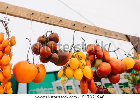 Tomato cultivars in farmers market. colorful variety of organic tomato. Different varieties of red, orange, yellow tomatoes.