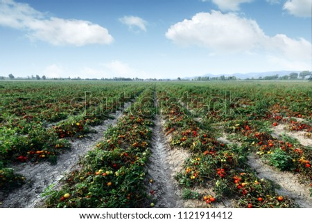 Tomato field on summer day. Agriculture and gardening concept