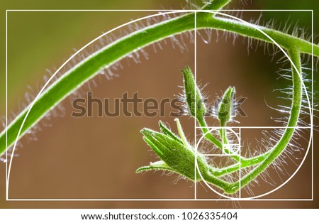 Tomato flowers on blurred natural background. Spiral arrangement in nature. Illustration of Fibonacci sequence. Golden Ratio concept