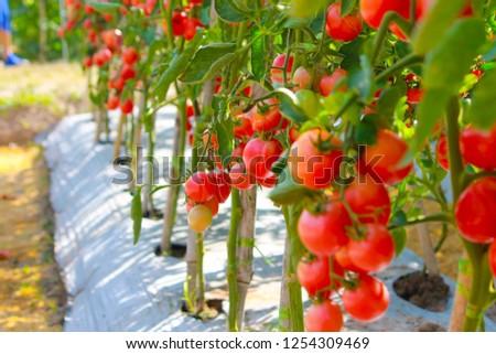 Tomato garden grown in Thailand #1254309469