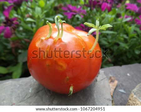 Tomato growing inside itself #1067204951