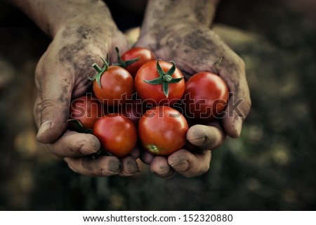 Shutterstock Tomato harvest. Farmers hands with freshly harvested tomatoes.