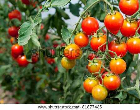 Tomato in a hothouse