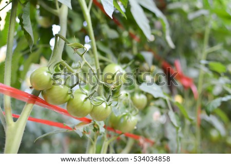 Tomato on a plant in the garden.from Thailand selective and soft focus #534034858