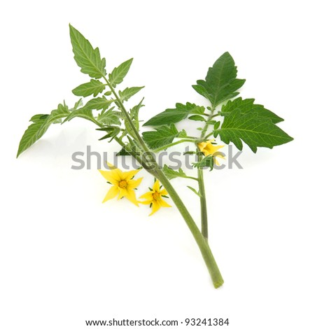 Tomato plant flower and leaf sprig isolated over white background.