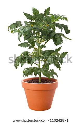 Tomato Plant in a Pot isolated on a white background - stock photo