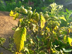 Tomato plant that has been infected by Tomato Yellow Leaf Curl Virus (TYLCV) showing a hopeless situation-- yellowing and curling leaves, stunted growth and small fruits.