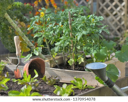 tomato plants and lettuce planting in a vegetable garden  #1370954078