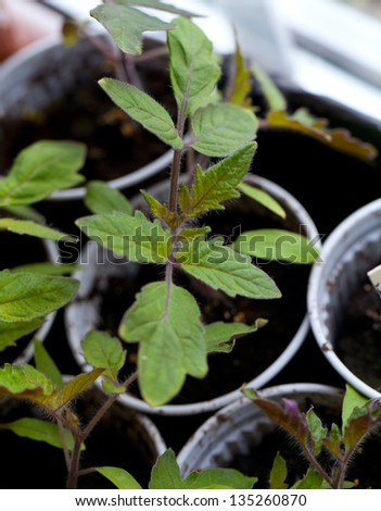 tomato plants on window sill